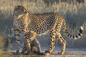 Cheetah (Acinonyx jubatus) with cub, Kgalagadi Transfrontier Park, Northern Cape, South Africa, Afr by Ann and Steve Toon