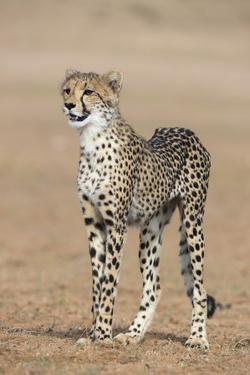 Cheetah Cub (Acinonyx Jubatus), Kgalagadi Transfrontier Park, Northern Cape, South Africa, Africa by Ann and Steve Toon