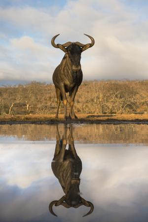 Common (blue) wildebeest (gnu) (Connochaetes taurinus) with reflection at waterhole, Zimanga privat by Ann and Steve Toon