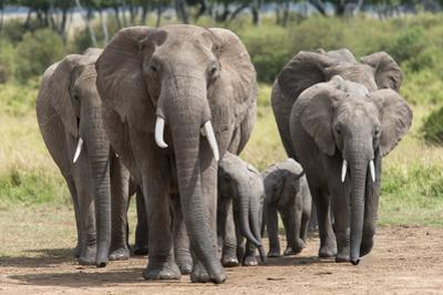 Elephant (Loxodonta Africana) Herd Walking to the River to Drink