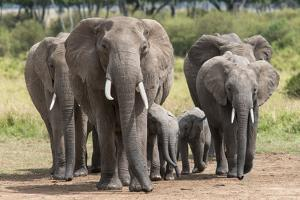 Elephant (Loxodonta Africana) Herd Walking to the River to Drink by Ann and Steve Toon