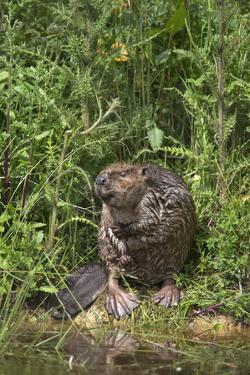 Eurasian Beaver (Castor Fiber), Captive in Breeding Programme, United Kingdom, Europe by Ann and Steve Toon