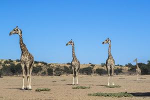 Giraffe (Giraffe camelopardalis), Kgalagadi Transfrontier Park by Ann and Steve Toon