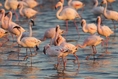 Greater Flamingoes (Phoenicopterus Ruber) and Lesser Flamingoes (Phoenicopterus Minor)