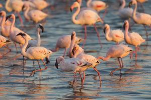 Greater Flamingoes (Phoenicopterus Ruber) and Lesser Flamingoes (Phoenicopterus Minor) by Ann and Steve Toon
