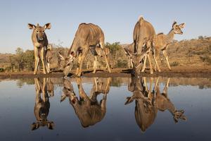 Greater kudu (Tragelaphus strepsiceros) at water, Zimanga private game reserve, KwaZulu-Natal by Ann and Steve Toon