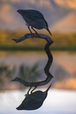 Greenbacked (striated) heron (Butorides striatus), Zimanga private game reserve, KwaZulu-Natal by Ann and Steve Toon