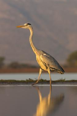 Grey heron (Ardea cinerea), Zimanga private game reserve, KwaZulu-Natal, South Africa, Africa by Ann and Steve Toon