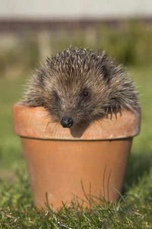 Hedgehog (Erinaceus Europaeus), in Plant Pot, Captive, United Kingdom, Europe by Ann and Steve Toon