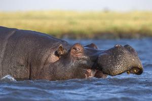 Hippo (Hippopotamus amphibius), Chobe National Park, Botswana by Ann and Steve Toon