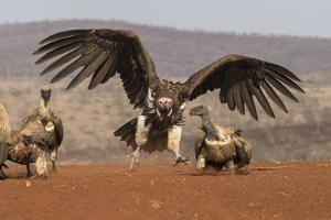 Lappetfaced vulture (Torgos tracheliotos) intimidating whitebacked vulture for food, KwaZulu-Natal by Ann and Steve Toon