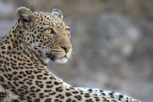 Leopard (Panthera pardus) female, Chobe National Park, Botswana by Ann and Steve Toon