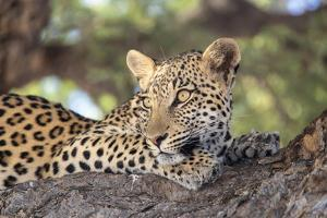 Leopard (Panthera pardus) female, Kgalagadi Transfrontier Park by Ann and Steve Toon