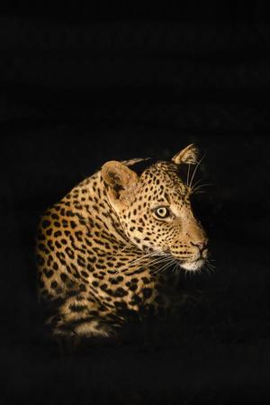 Leopard (Panthera Pardus), Madikwe Game Reserve, South Africa, Africa