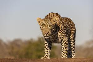 Leopard (Panthera pardus) male, Zimanga private game reserve, KwaZulu-Natal by Ann and Steve Toon