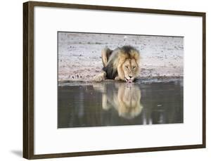 Lion (Panthera Leo) Drinking, Kgalagadi Transfrontier Park, South Africa, Africa by Ann and Steve Toon