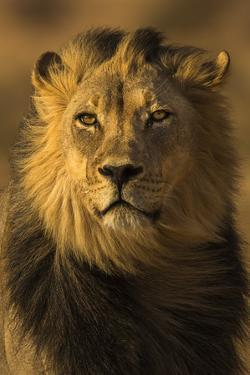 Lion (Panthera leo) male, Kgalagadi Transfrontier Park by Ann and Steve Toon