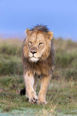 Lion (Panthera Leo) on Patrol, Mountain Zebra National Park, Eastern Cape, South Africa, Africa by Ann and Steve Toon