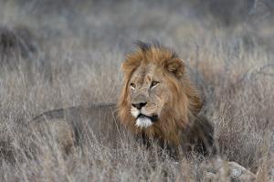 Lion (Panthera leo), Zimanga private game reserve, KwaZulu-Natal by Ann and Steve Toon