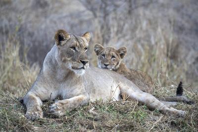 Lioness (Panthera leo) with cub, Zimanga private game reserve, KwaZulu-Natal