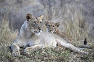 Lioness (Panthera leo) with cub, Zimanga private game reserve, KwaZulu-Natal by Ann and Steve Toon