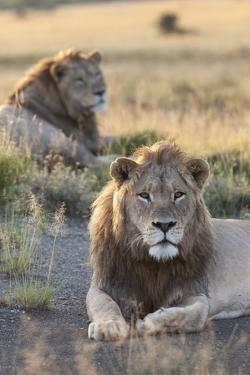 Lions (Panthera Leo), Mountain Zebra National Park, Eastern Cape, South Africa, Africa by Ann and Steve Toon