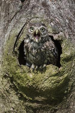 Little owl (Athene noctua), captive, United Kingdom, Europe by Ann and Steve Toon