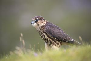 Merlin (Falco columbarius), captive, Cumbria, England by Ann and Steve Toon