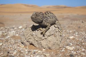 Namaqua Chameleon (Chamaeleo Namaquensis), Namib Desert, Namibia, Africa by Ann and Steve Toon
