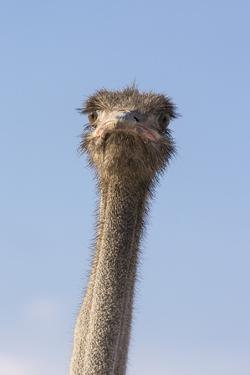 Ostrich (Struthio camelus), Kgalagadi Transfrontier Park, South Africa, Africa by Ann and Steve Toon