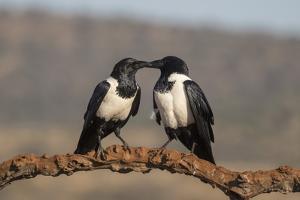 Pied crows (Corvus albus), Zimanga private game reserve, KwaZulu-Natal by Ann and Steve Toon