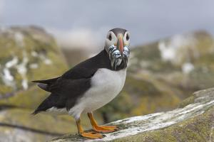 Puffin (Fratercula arctica) with sand eels, Farne Islands, Northumberland, England, United Kingdom, by Ann and Steve Toon