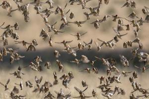 Red-billed quelea (Quelea quelea) flocking at water, Kgalagadi Transfrontier Park, South Africa, Af by Ann and Steve Toon