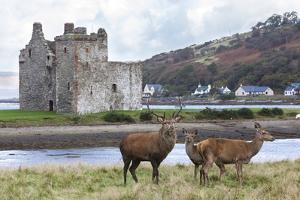 Red Deer, Lochranza, Isle of Arran, Scotland, United Kingdom, Europe by Ann and Steve Toon