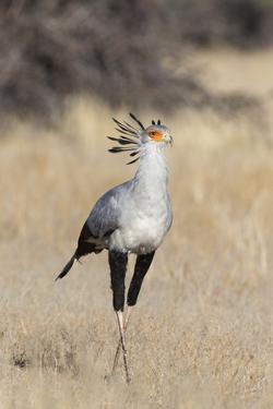 Secretarybird (Sagittarius serpentarius), Kgalagadi Transfrontier Park, South Africa, Africa by Ann and Steve Toon