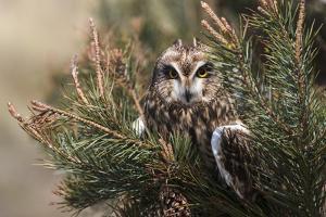 Short-eared owl (Asio flammeus) captive, Holy Island, Northumberland, England by Ann and Steve Toon