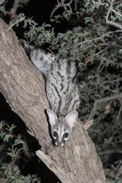 Small Spotted Genet (Genetta Genetta), Kgalagadi Transfrontier Park, South Africa, Africa by Ann and Steve Toon