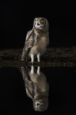 Spotted eagle owl (Bubo africanus) at night, Zimanga private game reserve, KwaZulu-Natal by Ann and Steve Toon
