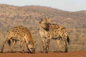 Spotted hyena (Crocuta crocuta), Zimanga private game reserve, KwaZulu-Natal by Ann and Steve Toon