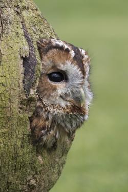 Tawny owl (Strix aluco), captive, Cumbria, England, United Kingdom, Europe by Ann and Steve Toon