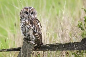 Tawny Owl (Strix Aluco), Captive, United Kingdom, Europe by Ann and Steve Toon