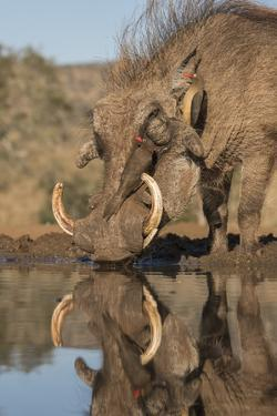Warthog drinking, with redbilled oxpeckers, Zimanga game reserve, KwaZulu-Natal by Ann and Steve Toon