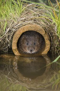 Water Vole (Arvicola Terrestris), Captive, United Kingdom, Europe by Ann and Steve Toon