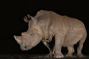 White rhino (Ceratotherium simum) at night, Zimanga private game reserve, KwaZulu-Natal by Ann and Steve Toon