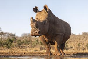 White rhino (Ceratotherium simum) bull at water, Zimanga private game reserve, KwaZulu-Natal by Ann and Steve Toon