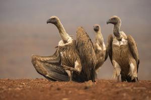Whitebacked vultures (Gyps africanus) moving in to feed, Zimanga private game reserve, KwaZulu-Nata by Ann and Steve Toon