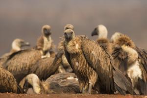Whitebacked vultures (Gyps africanus), Zimanga private game reserve, KwaZulu-Natal, South Africa, A by Ann and Steve Toon