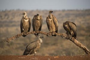 Whitebacked vultures (Gyps africanus), Zimanga private game reserve, KwaZulu-Natal by Ann and Steve Toon
