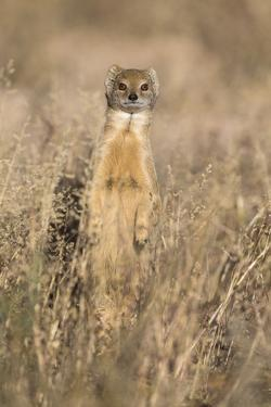 Yellow mongoose (Cynictis penicillata), Kgalagadi Transfrontier Park, South Africa, Africa by Ann and Steve Toon
