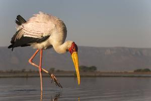 Yellowbilled stork (Mycteria ibis), Zimanga private game reserve, KwaZulu-Natal, South Africa, Afri by Ann and Steve Toon